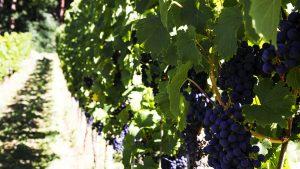 Köstliche Weintrauben für Kern Weine