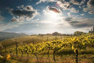 Herbststimmung in den Weinbergen, Trauben für die Weine von Wilhelm Kern